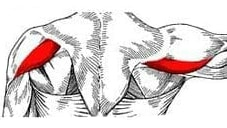 posterior deltoid anatomy